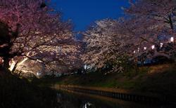 海老川の桜並木、夜桜も絶景