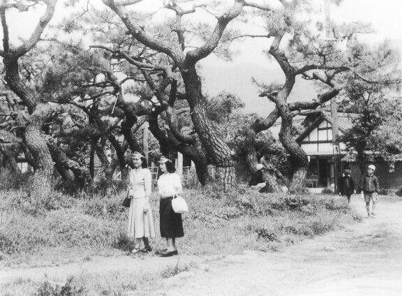 日出小学校東門付近の松並木